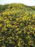 Szczegółowy widok żółty kolcolist kwitnie na Dartmoor, Devon Anglia zdjęcia stock