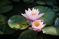 Szczegółowy widok dwa czułej różowej wodnej lelui Obrazy Royalty Free