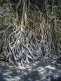 Szczegółowy zakończenie w górę wizerunku drzewo z masywnymi korzeniami obraz stock