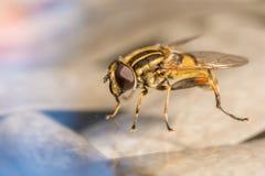 Szczegółowy zbliżenie horsefly ilustracji
