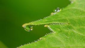 Szczegółowy zbliżenie makro- wodne kropelki tworzy na końcówkach zielony liść z niektóre odbiciem zdjęcia royalty free