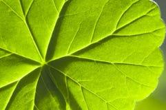 szczegółu bodziszka liść macro Zdjęcia Stock