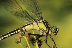 Szczegółu dragonfly obsiadanie na roślinie Zdjęcia Stock