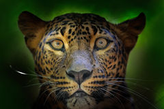 Szczegółu portret dziki kot Lankijczyka lampart, Panthera pardus kotiya, Duży łaciasty kota lying on the beach na drzewie w natur Zdjęcie Royalty Free