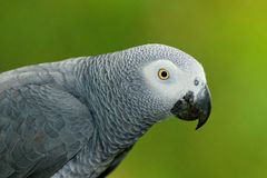 Szczegółu portret piękna popielata papuga Afrykańska Popielata papuga, Psittacus erithacus, siedzi na gałąź, Afryka Ptak od G Zdjęcie Royalty Free