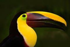 Szczegółu portret pieprzojad Bill pieprzojada portret Piękny ptak z dużym belfrem tukan Dużego belfra Chesnut-mandibled ptasi obs Obraz Royalty Free