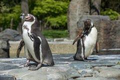 Szczegółu portret pingwin Dwa pingwinu z belfrem w środku, patrzeje dla pary pingwiny zdjęcia stock