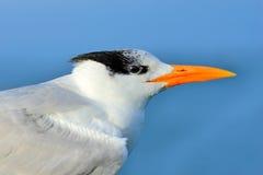Szczegółu portret tern Tern w wodzie, czyści upierzenie Królewscy Tern, mostków maksimumy, lub Thalasseus maximus, seabird na bea Zdjęcie Royalty Free