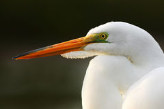 Szczegółu portret wodny ptak Biała czapla, Wielki Egret, Egretta albumy, stoi w wodzie w marszu Plaża w Floryda, usa Zdjęcia Royalty Free