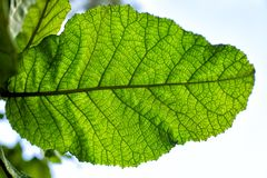 Szczegółu widok ampuła bardzo zielenieje liść Fotografia Royalty Free