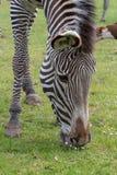 Szczegółu widok zebry dysza i głowa podczas gdy ono pasa fotografia royalty free