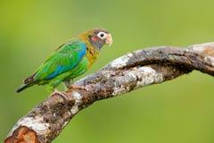 Szczegółu zakończenia portreta ptak Ptak od Ameryka Środkowa Przyrody scena, zwrotnik natura Ptak od Costa Rica brąz okapturzając Zdjęcie Royalty Free