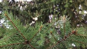 Szczegóły świeży zielony conifer rozgałęziają się z spiderweb Pogodna pogoda, zwolnione tempo zbiory wideo