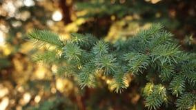 Szczegóły świeży zielony conifer rozgałęziają się z sunrays i migoczą zdjęcie wideo