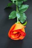szczegóły czerwona róża Zdjęcia Stock