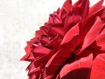 szczegóły czerwona róża Obraz Stock