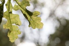 Szczegóły dębowy drzewo z rozmytym tłem obraz stock