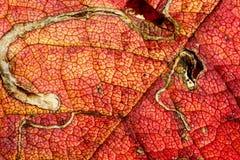 szczegóły liści jesienią mnóstwo makro Fotografia Royalty Free