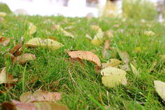 Szczegóły liście traw zielenie w zimnej jesieni pogodzie są susi, marszczący brwi delikatnie opuszczają Zdjęcia Royalty Free