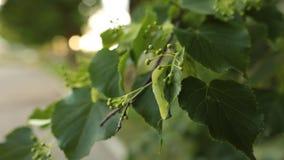 Szczegóły lipowa gałąź z świeżymi liśćmi i pączkami zbiory