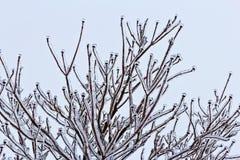 Szczegóły lodowaty dereniowy drzewo obraz royalty free