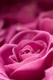 szczegóły różową różę Zdjęcia Royalty Free