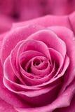 szczegóły różową różę Fotografia Royalty Free