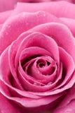 szczegóły różową różę Zdjęcie Royalty Free