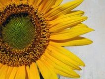 szczegóły słonecznik Obrazy Stock