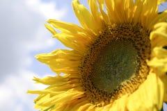 szczegóły słonecznik Fotografia Royalty Free