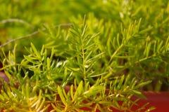 Szczegóły zielona roślina Zieleni kwiaty Fotografia Stock