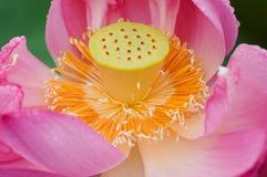 szczegółów kwiatu lotos Obraz Stock