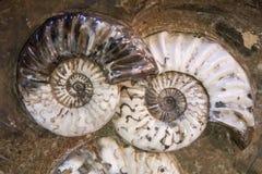 Szczegół amonity skamieniali Fotografia Royalty Free