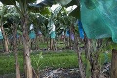 Szczegół Bananowa plantacja Obrazy Royalty Free