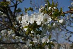 Szczegół biali kwiaty na kwitnie drzewie obraz stock