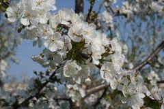 Szczegół biali kwiaty na kwitnie drzewie zdjęcia royalty free