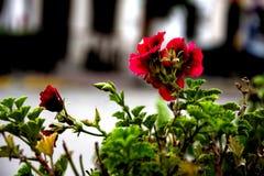 Szczegół bodziszek kwitnie w ulicach Arahal 79 obrazy stock