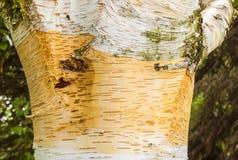 Szczegół brzozy drzewo Obraz Royalty Free