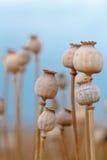 Szczegół drzewni poppyheads na polu Obraz Stock