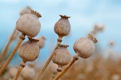 Szczegół drzewni poppyheads na polu Fotografia Royalty Free