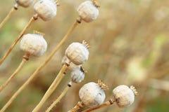 Szczegół drzewni poppyheads na polu Obrazy Stock