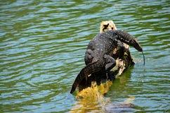 Szczegół egzotyczna amfibia, Srí Lanka Zdjęcie Royalty Free