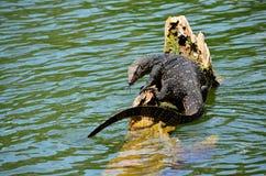 Szczegół egzotyczna amfibia, Srí Lanka Fotografia Royalty Free