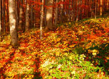 Szczegół fotografia jesienni bukowi drzewa Zdjęcie Stock
