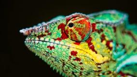 Szczegół kameleon Zdjęcia Royalty Free