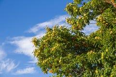 Szczegół kasztan w jesieni Obrazy Stock