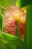 Szczegół kukurydza Zdjęcie Stock