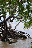 Szczegół mangrowe Fotografia Royalty Free