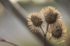 Szczegół osetu kwiat obrazy royalty free