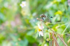 Szczegółowy dragonfly w naturalnym Fotografia Royalty Free